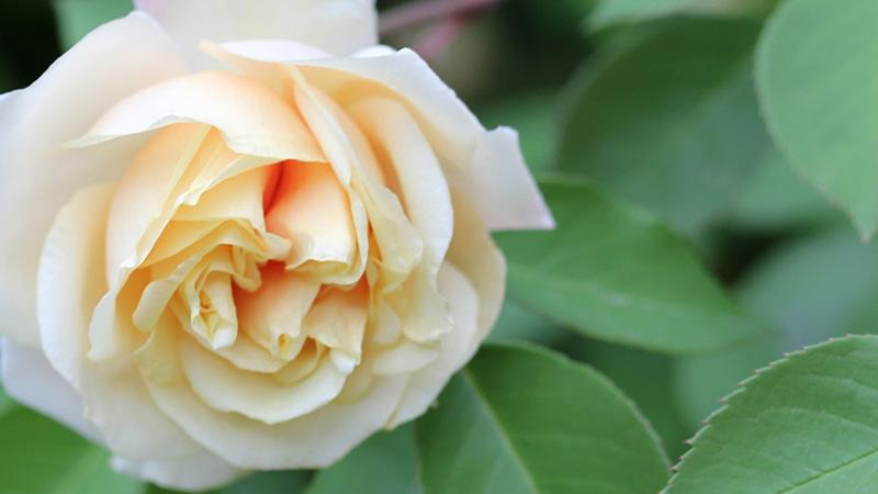 rose_rifiorentissime_brescia